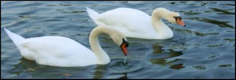 swans.jpg