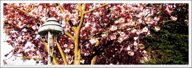 Prunus serrulata. Ritterstraße