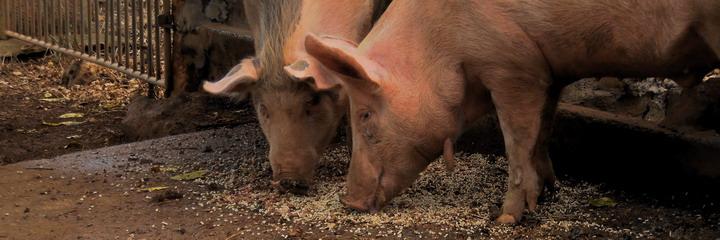 Schweine, bei s'Horta