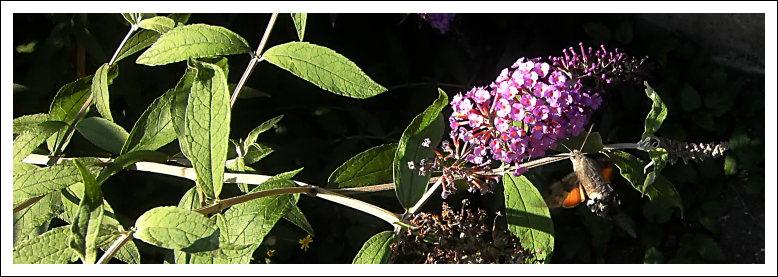 Kolibrischwärmer (Macroglossum stellatarum), Mombacher Straße