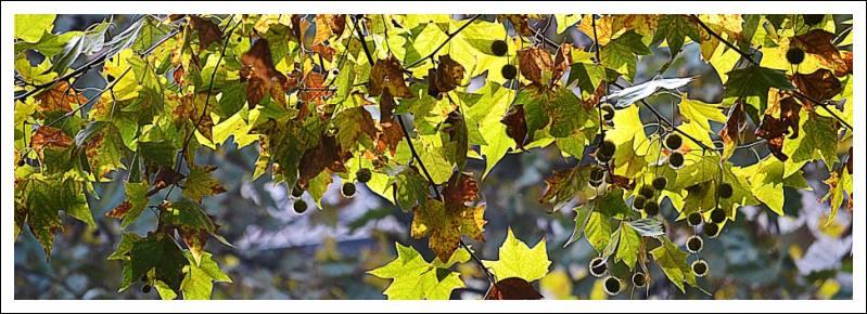 Das Bild zeigt Blätter von Platanen im Gegenlicht