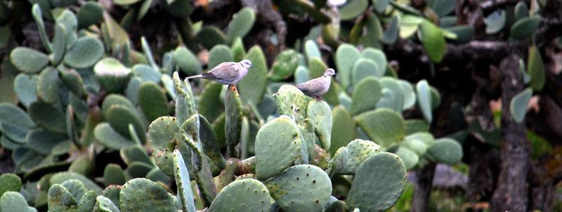 Das Bild zeigt zwei Tauben auf Feigenkakteen
