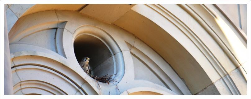 Das Bild zeigt einen Turmfalken in einem Rundfenster der Christuskirche