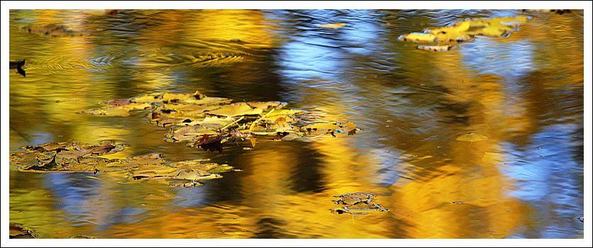 Das Foto zeigt Spiegelungen herbstlich gelber Pappeln und im Wasser treibende Blätter