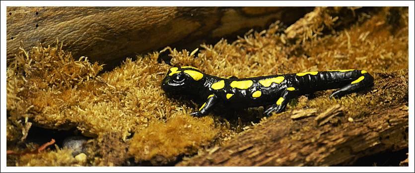 Das Foto zeigt eine Salamander-Figur im Schaukasten des Naturhistorischen Museums