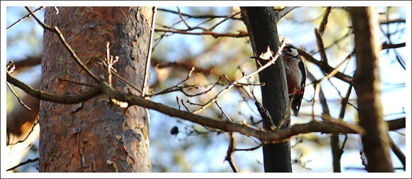 Das Foto zeigt einen Buntspecht
