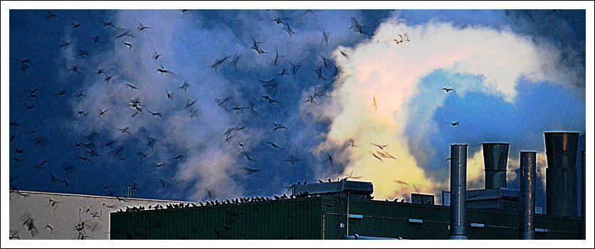 Das Foto zeigt einen Schwarm Krähen oder Dohlen vor dampfenden Schornsteinen des Kostheimer SCA-Werks
