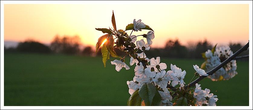Das Foto zeigt Kirschblüten