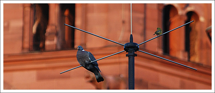 dovebird