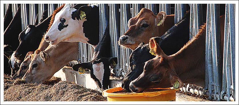 cowfacts3