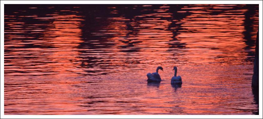 Dieses Foto zeigt zwei Schwäne im Becken des Mainzer Zollhafens
