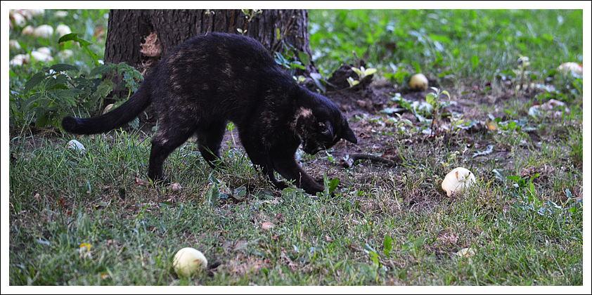 mirowcat